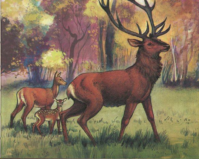 p.19 Deer
