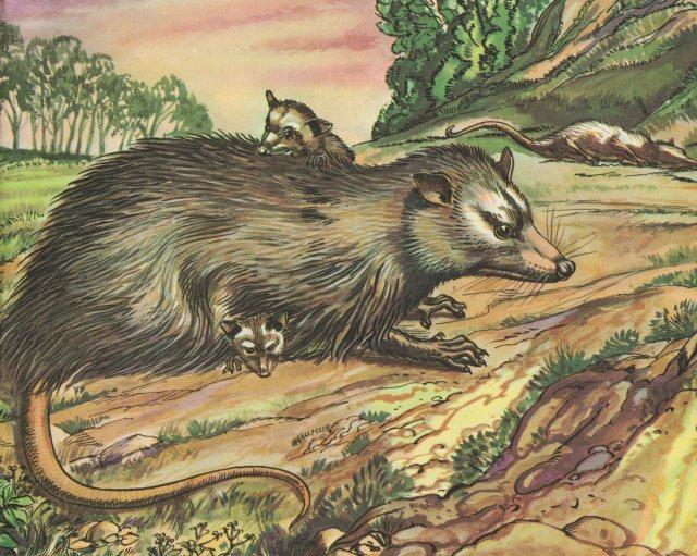 p.49 Opossum