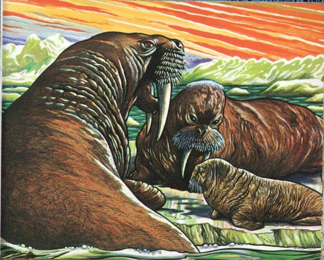 p.75 Walrus